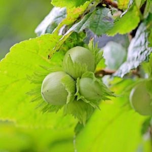 Настойка листьев лещины (орешника)